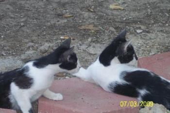 Bobtail Cats - This is Jack and Jill, the bobtail cats