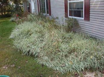 Varigated Silver ornamental grass - A perennial that I discovered is really good for blocking out all weeds. Looks nice as well but does get tall and will actually choke out other small desirable plants as well. Good as a background for tall plants like you see here or around tall evergreens.