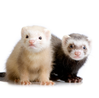 Ferrets - awsome pets