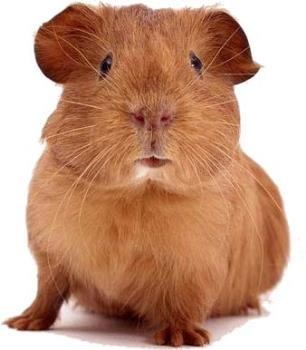 Guinea Pig - Picture of Guinea Pig in brown color