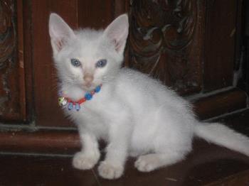 my daughter's kitten - this is sinbad, my daughter's kitten
