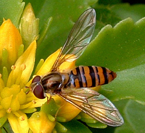 hoverfly - Compared with bees and wasps, hoverflies is good because it never tries to hurh others.