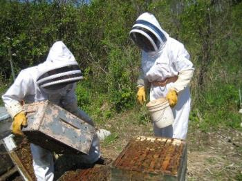 busy beekeepers working in the hives - Beekeepers manipulating beehives searching for the Queen Bee.