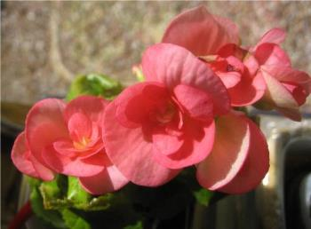 My begonia - Most people grow them in dirt, but I grow mine in water.