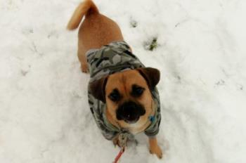 Miss Hemi Layla in the snow - This is one of our dogs Hemi. She is a 2 year old Puggle...pug/beagle mix. She LOVES the snow!