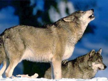 big doggies - wolves
