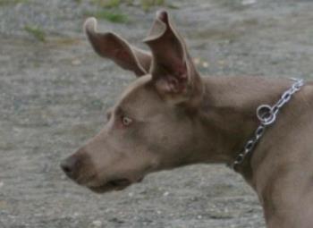Weimaraner - Weimaraner with Dumbo ears