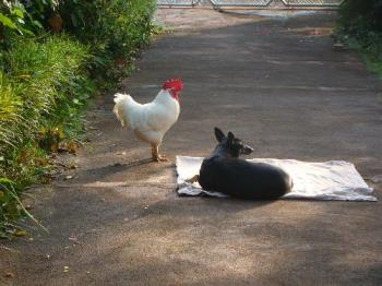 My pets - Both the dog and the rooster get on fine. They are friends