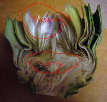 Globe Artichoke Section - Section of a Globe artichoke, showing the 'thorny' and the 'furry' parts which should be removed.