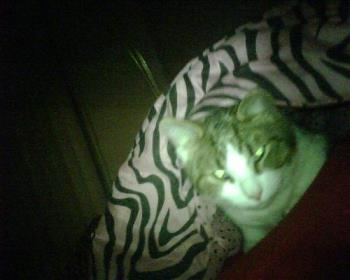 TIger cozied up - Sleeping under the covers.