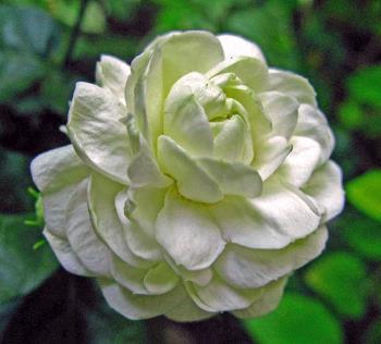 Jasmine flower - multi layered jasmine flower