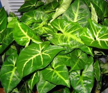 arrowhead plant - healthy and lush - arrowhead plants