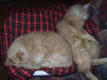 My two blond boys - Creamery and Tiger in sleepy mode. Together. Tiger is short haired, Creamery long haired.