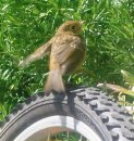 Baby robin - This is a sweet little baby robin