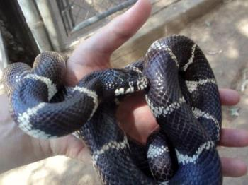 Holding Minnie - A beautiful female King snake! Love her!