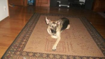 Our Dog Cora - This is a picture of our dog Cora, she is a 2 year old German Shepherd