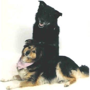T.K. and Kavik  - my Little Collie/shephard mix T.K. and My Malamute/lab mix Ka'vik (ka-veek)