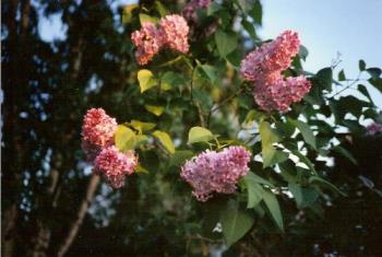Lilacs in Night Light - When the sun is near the horizon, the colors become warm and glowing.