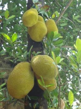 Jackfruit from my garden - jackfruits in my garden