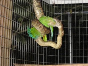 Parrot caught by snake - A photo of the resemblance