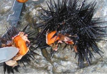 sea urchin - sea urchin opened