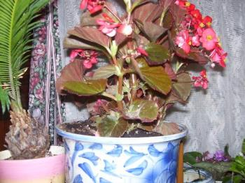 A begonia I brought in - This time of year I get really busy bringing in plants to have in my house all winter.