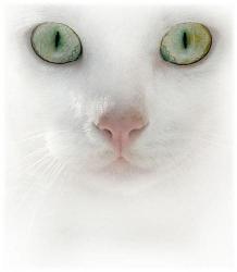 cute cat - white cat