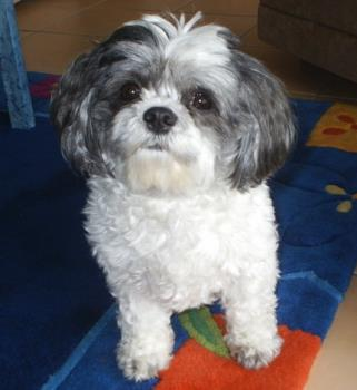 My dog Poppy - This is my dog Poppy. She is an 11 year old Shih-Tzu, very cheeky and full of fun!