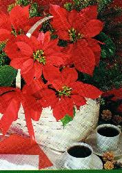 My gift for you! Poinsettia - Receive this as my token of love!