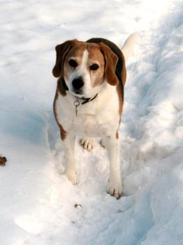 My beagle - Buster loves the snow and critters too.