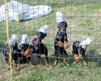 how to make doberman ears stand up without cropping