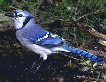 Blue Jay - downloaded from internet