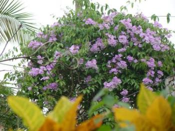 Purple Cluster - Worth having it even at the cost of my guava tree!