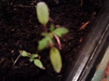 Tomato seedlings - They are up and growing, but just are not very big. I hope some of them make it. I have seven left.