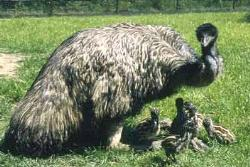 Emu with chicks - Emu with chicks