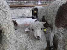 Sheep with earrings  - Similar earrings are put into the ears of cows, sheep, pigs and horses but nobody complains about their earrings...