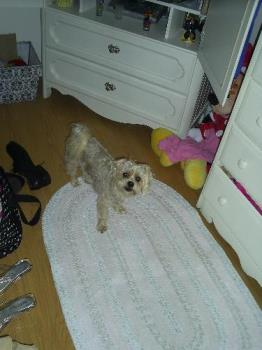 Cockapoo in mommys room - My puppy with me in my room like always. Cockapoo looking at his mommy.
