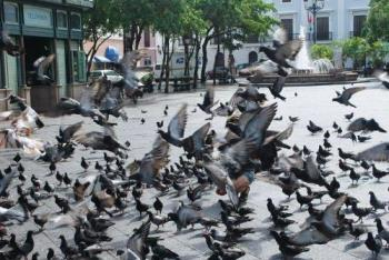 Pigeons on the Park - Lots and lots of them.