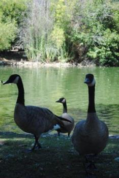 Black Swans? - Are they?