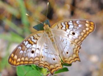 White Peacock Butterfly - A picture of the White Peacock Butterfly from the Everglades in Florida