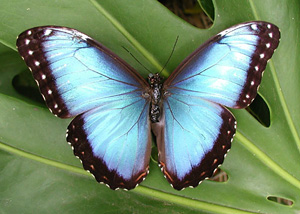 Blue Morpho - Gorgeous insects, those butterflies!