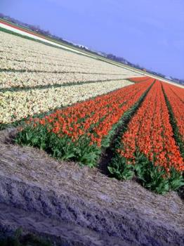 Tulips - Amsterdam the place where tulips grow