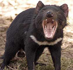 Tasmanian Devil - What a sociopath would look like if he was an animal