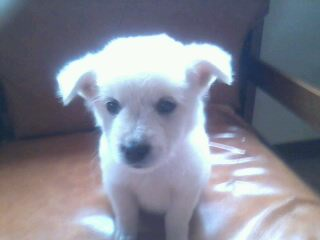 pup - This is an askal puppy