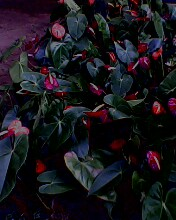 Anthuriums - These are anthurium flowers