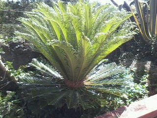 fern plant - This is a fern plant growing taller