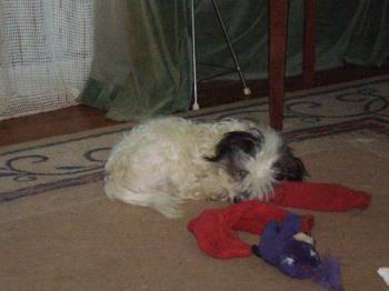 Sleeping at last. - Benji loves to play. An old pair of socks is a great toy for sharing.