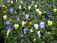 Flowers - This is from Gardening Basics site