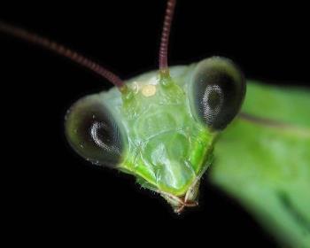 mantis eyes - praying mantis