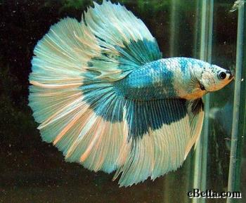 Betta fish can be very beautiful with their colors - Betta fish can be very beautiful with their colors.